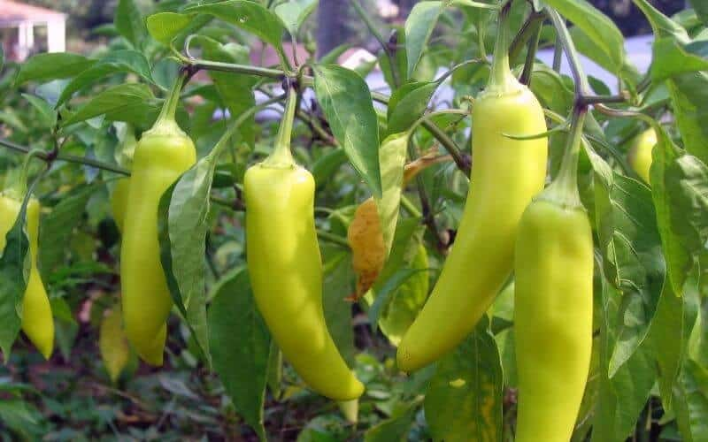 Substitutes for Green Chilies