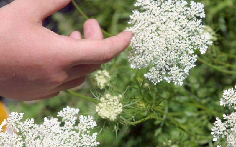 Can You Eat Queen Anne's Lace
